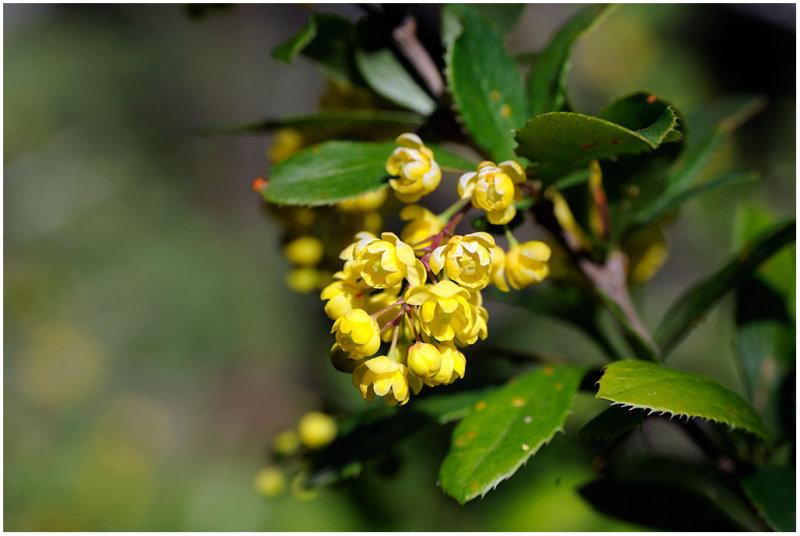 215 Mahonia aquifolium