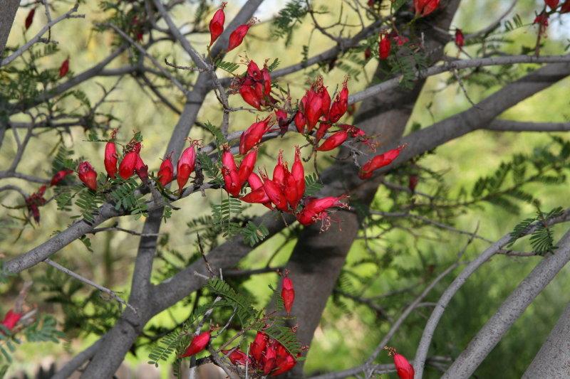 Karoo Boer Bean - Schotia afra v. angustifolia