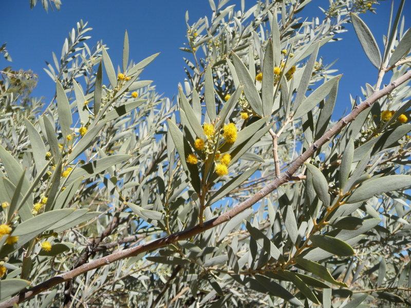 Acacia georginea