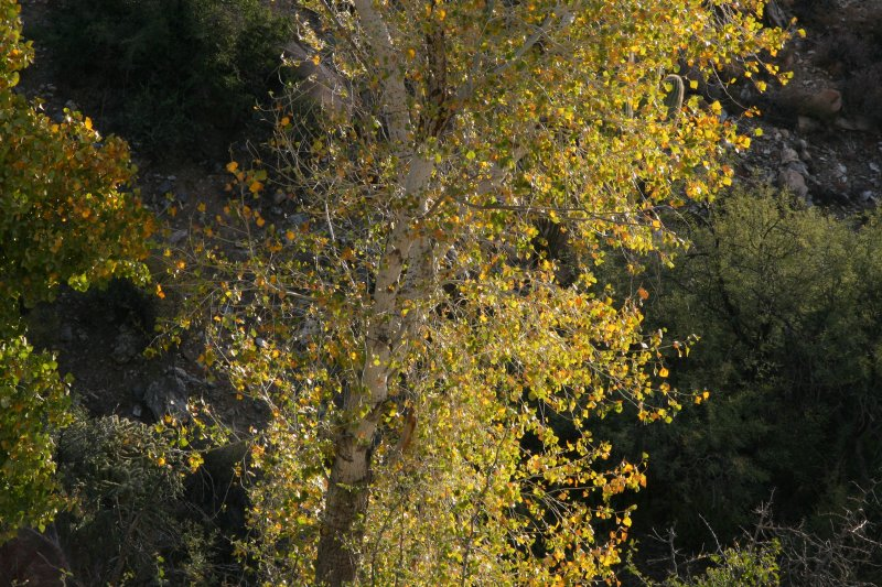 Fremont Cottonwood Tree