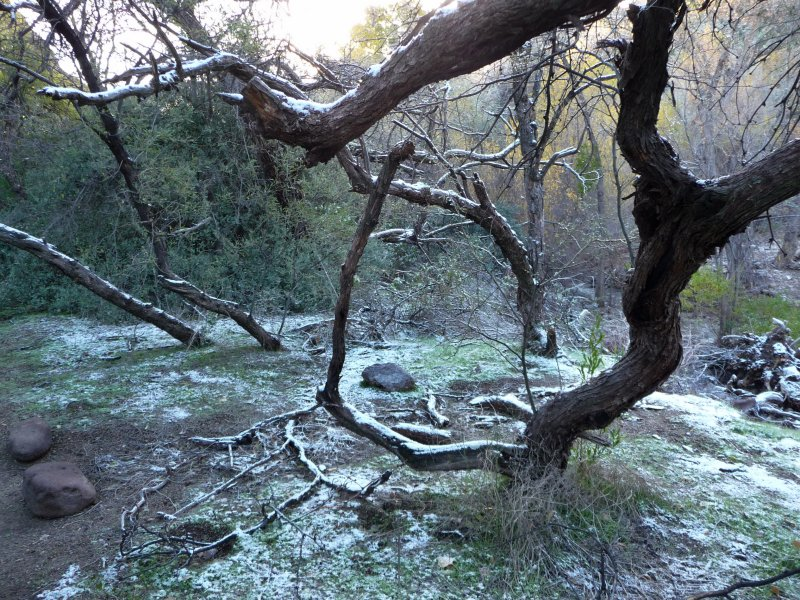 Snow on Crooked Mesquite Trees