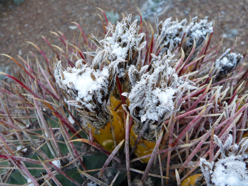 Snow on Barrel Cactus
