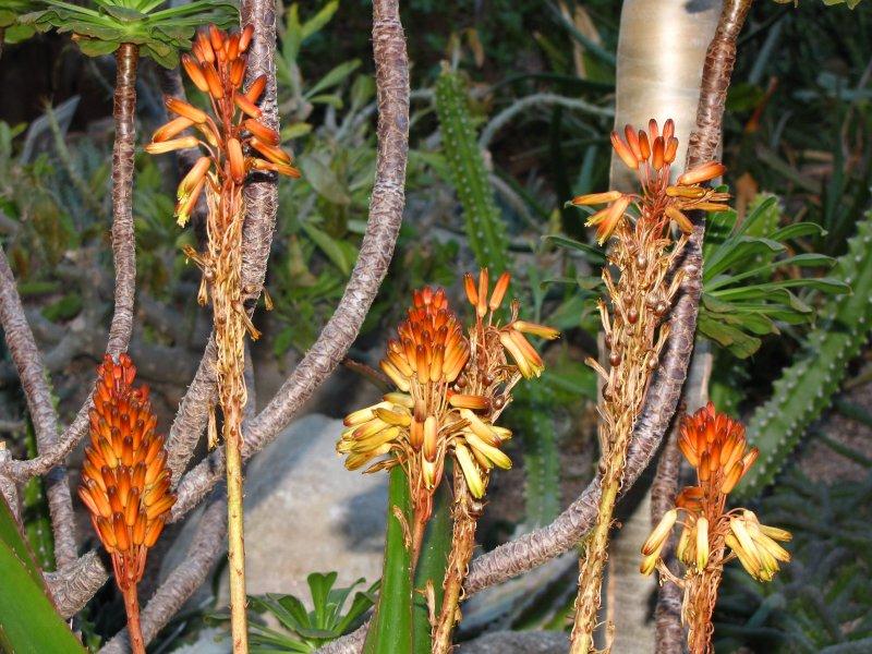 Aloe alexandrei