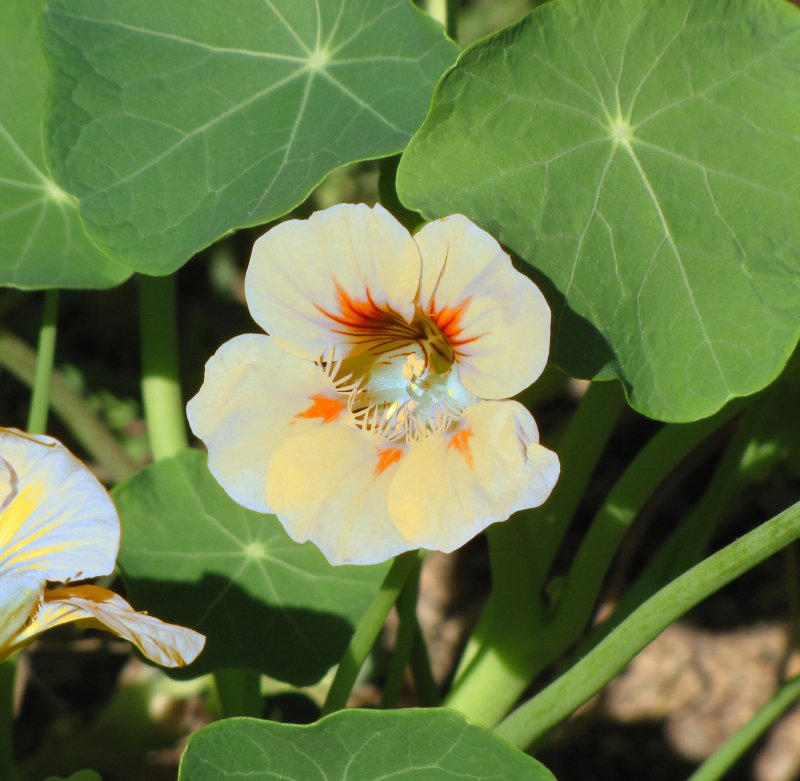 Yellow Nasturtium turned white using Color Swap