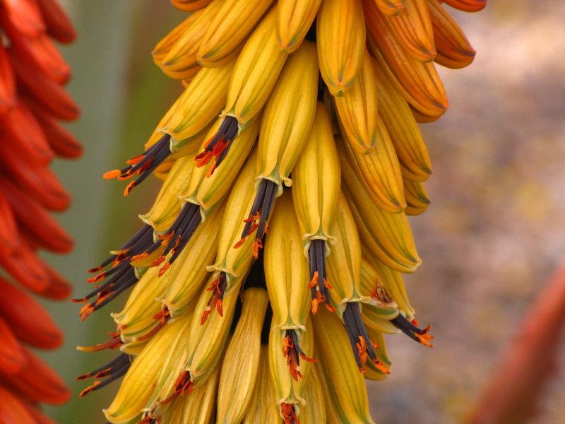 Aloe petricola