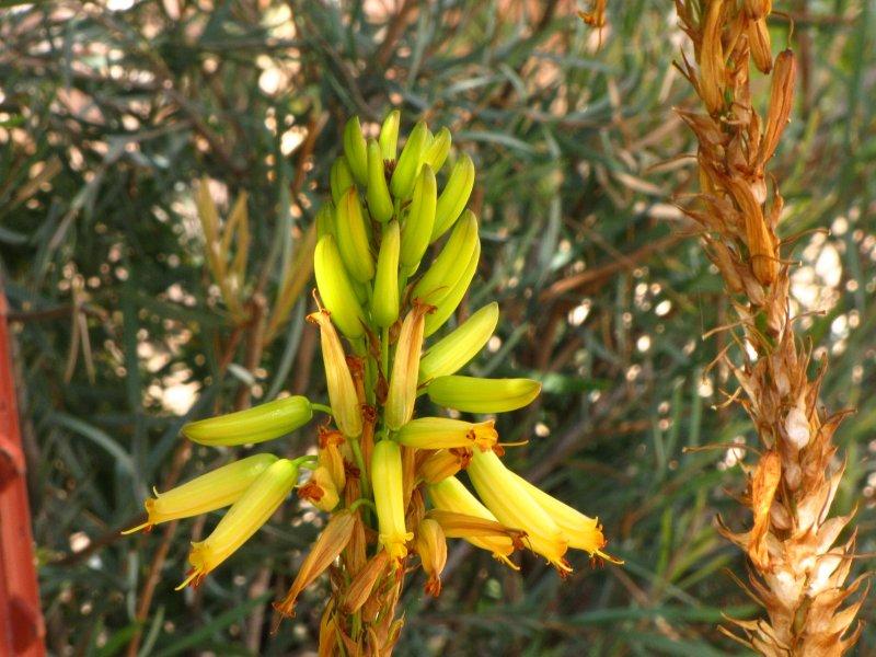 Aloe wickensii v. lutea