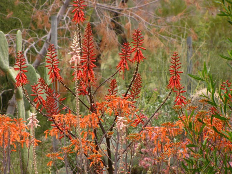 Aloes in the Kitty Garden