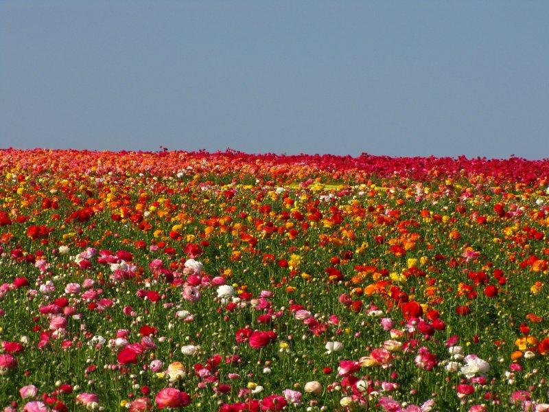 The Flower Fields - Carlsbad, California