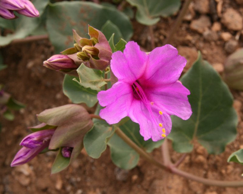 Colorado Four OClock - Mirabilis multiflora