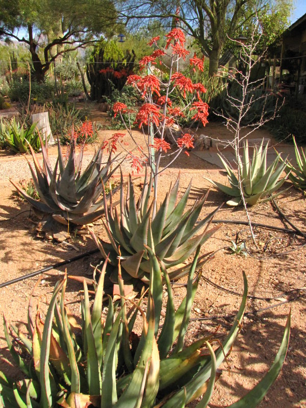 The two aloe chabaudii with flowers