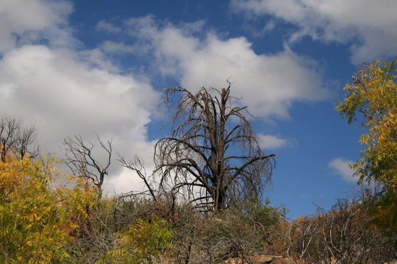 Fire-burned pine above Picadilla Creek