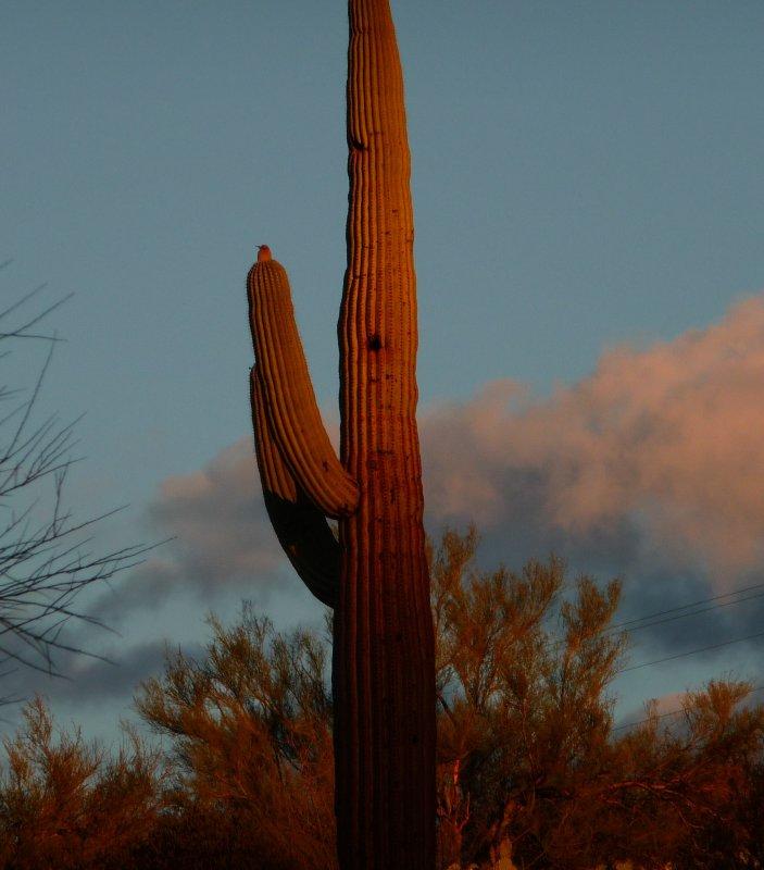 Sunrise saguaro