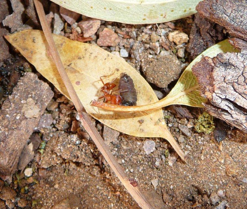 Ant carrying larva