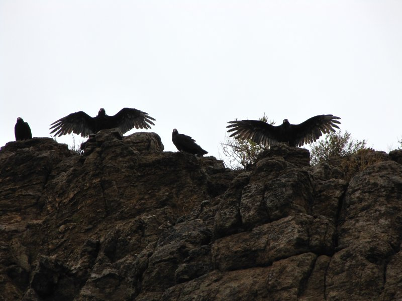 Turkey Vultures drying out after a rain