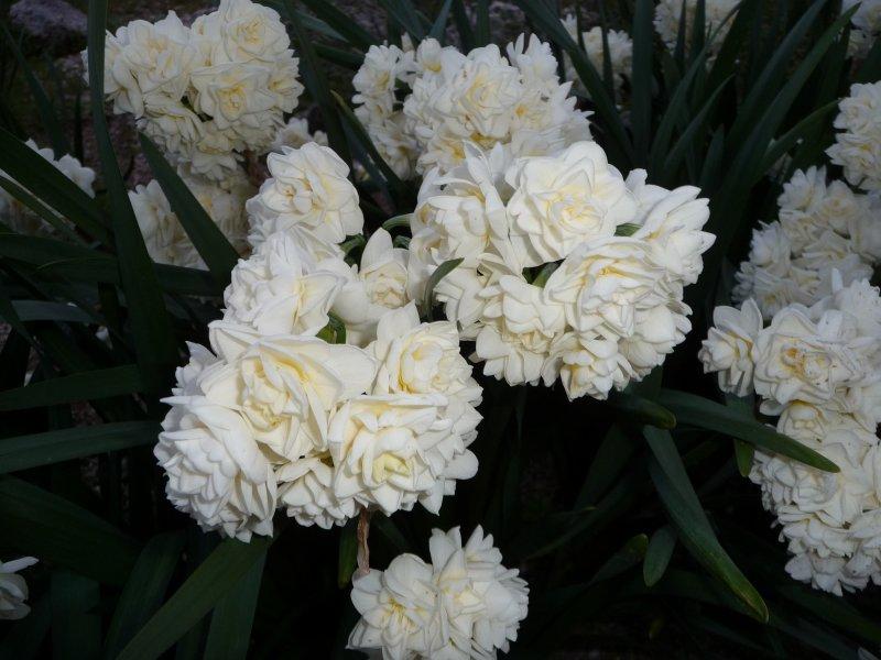 Erilicheer Daffodil