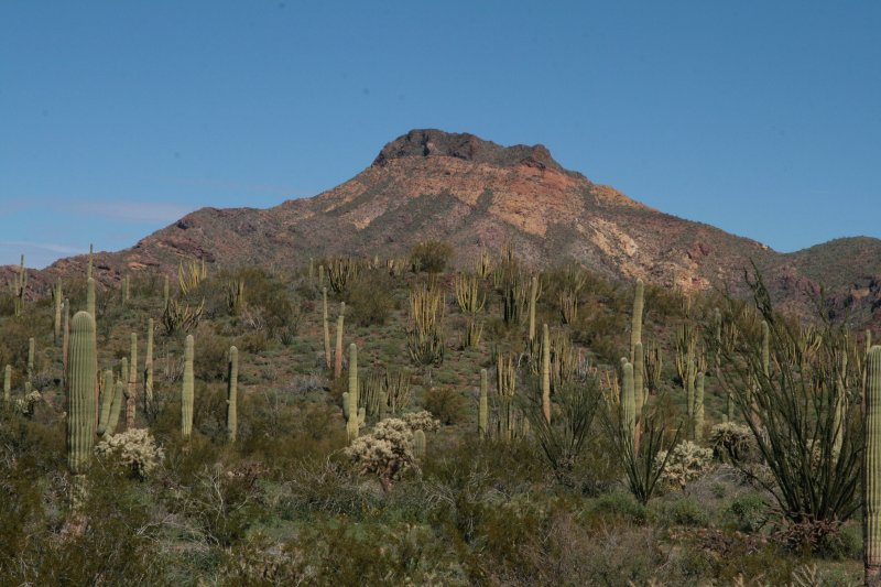 A lot of Organ Pipe cactus on the hillside