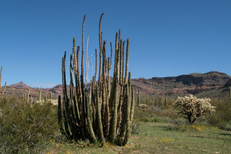 Organ Pipe Cactus with live stems and dead stems