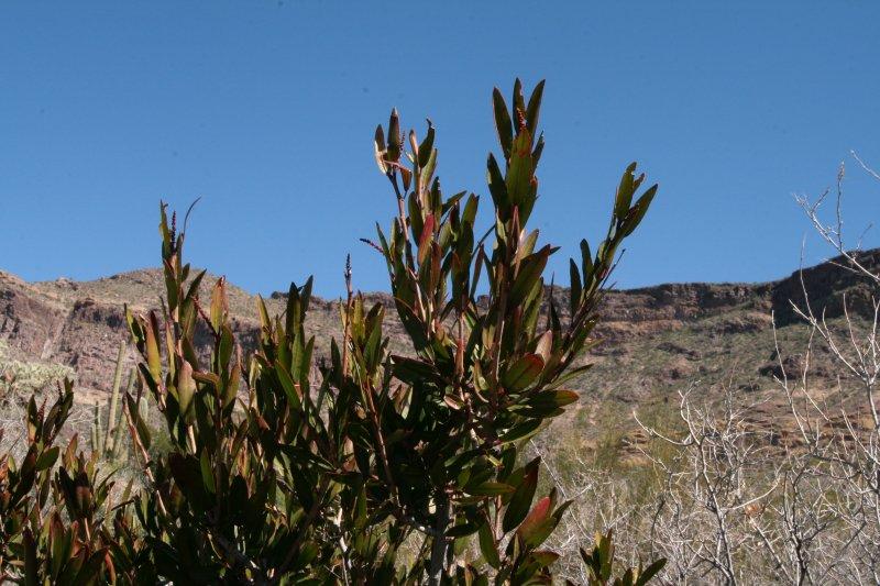 Sapium biloculare - Mexican Jumping Bean