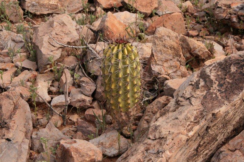Young Organ Pipe Cactus