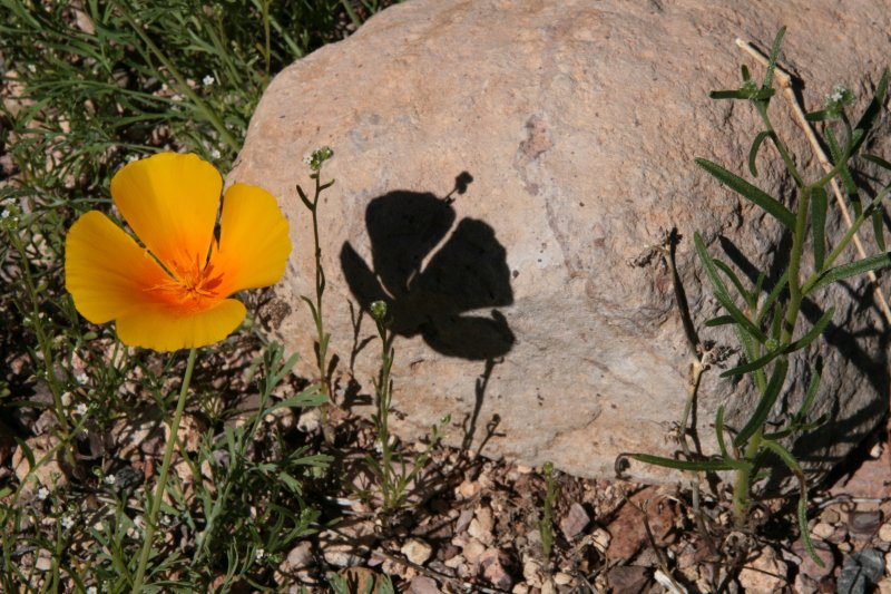 Eschscholzia mexicana - Mexican Gold Poppy