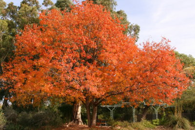 Chinese Pistachio Tree in the demonstration Garden