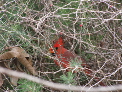Cardinal in Asparagus Bush