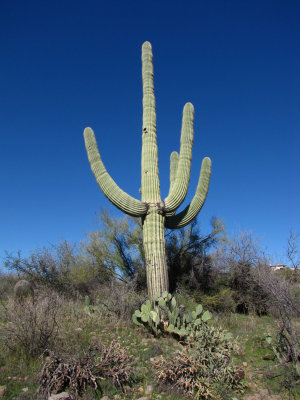 Big Saguaro on the Property Below the Hill House