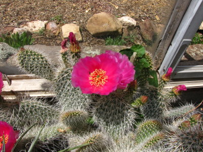 Happy Opuntia in the cactus house at Flagstaff Arboretum