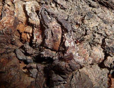 Ants on muti-trunked Red Gum in Pine Loop