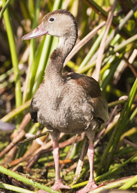 BLACK-BELLIED WHISTLING DUCK - IMMATURE