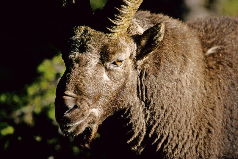 European Ibex