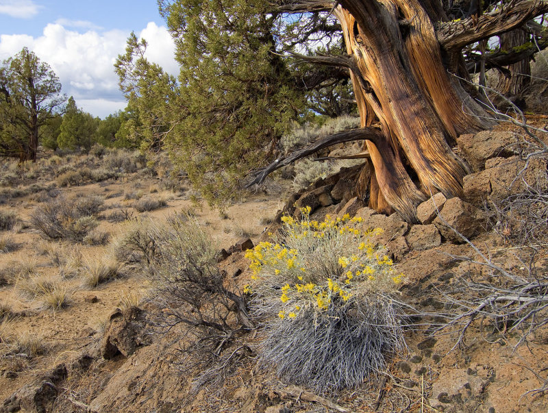 juniper / rabbit brush / fall in the badlands