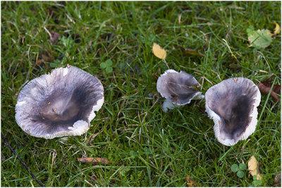 berijpte Russula - Russula parazurea