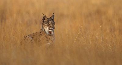 Iberian lynx (lynx pardinus), Doñana.