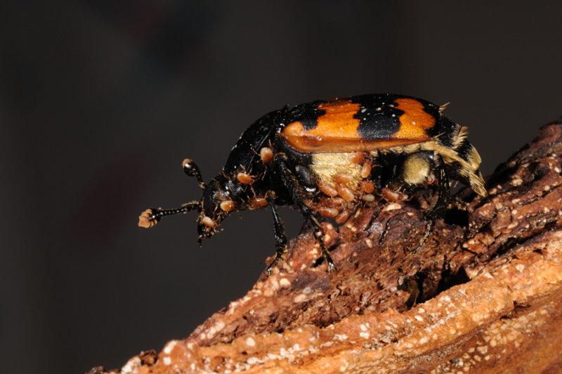 Burying beetle, Nicrophorus vespillo, Krumbenet ådselgraver 1