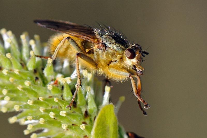 Common yellow dung fly, Scathophaga stercoraria , Almindelig gødningsflue 2