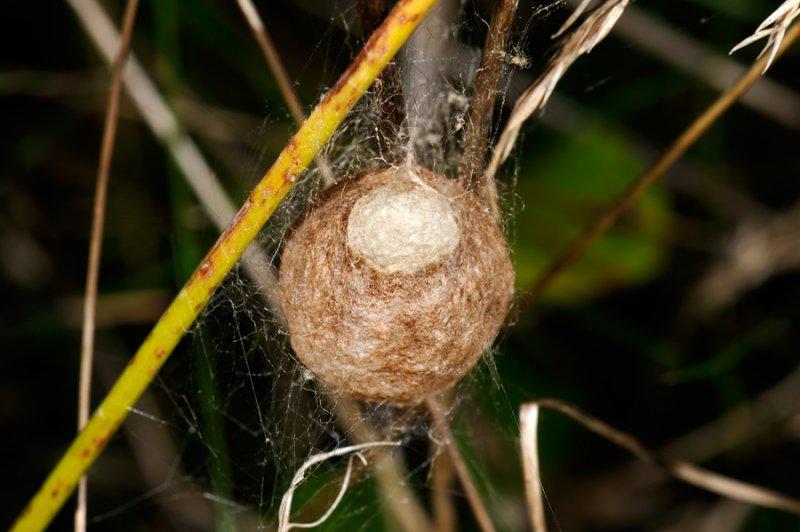 Wasp spider, Argiope bruennichi, Hvepseedderkop 2