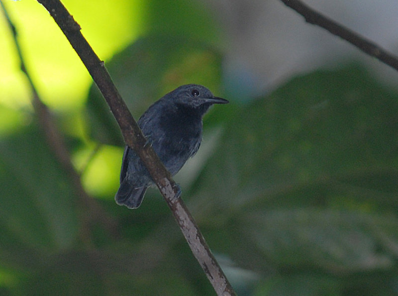 Plain-winged Antwren