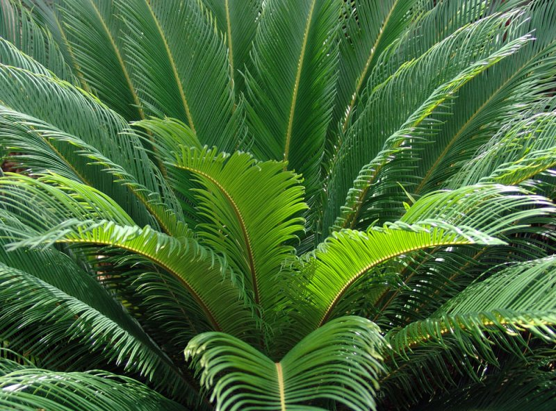 crown of fronds