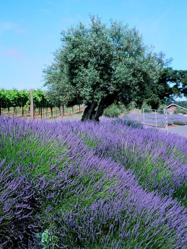 pbase Lavender 2 June 2009 08180023.jpg