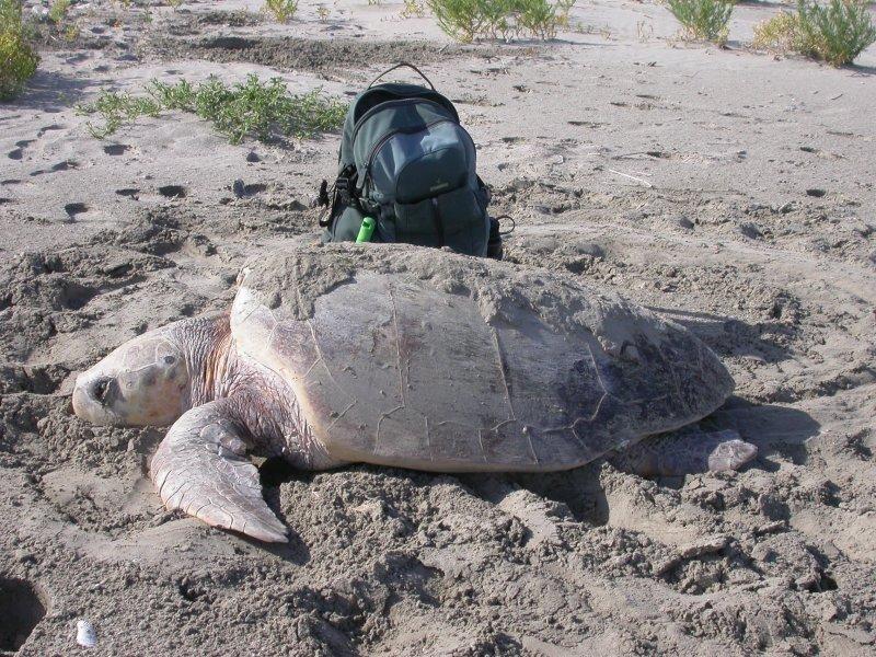 Loggerhead Sea -turtle