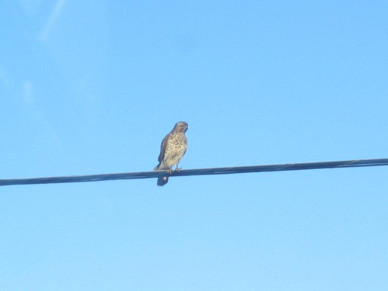 Red-shoulded Hawk