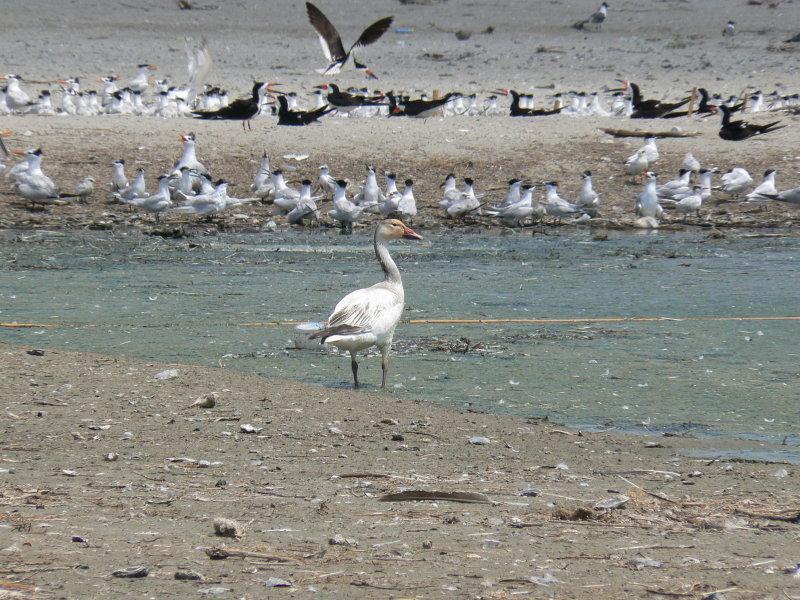 Snow Goose on Barrier Island