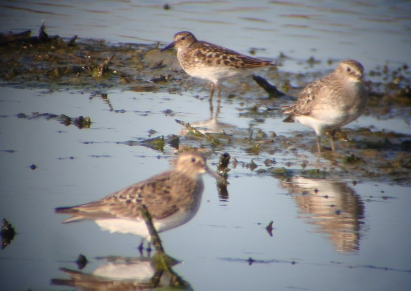 Bairds and Least Sandpipers
