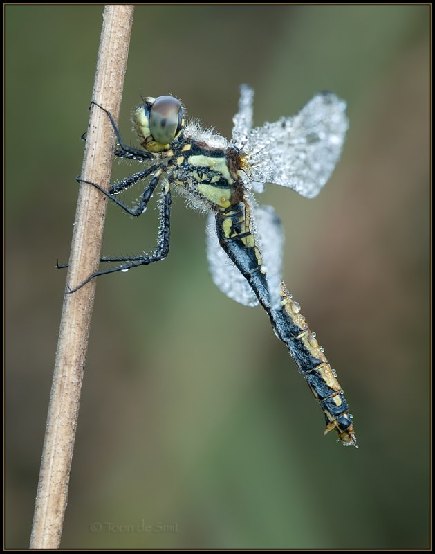 Black Darter / Zwarte Heidelibel