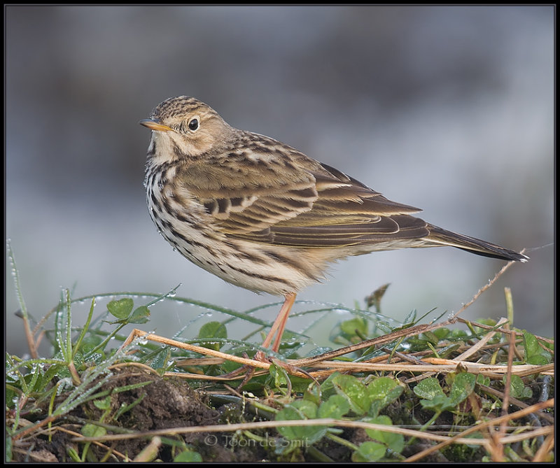 Meadow Pipit / Graspieper