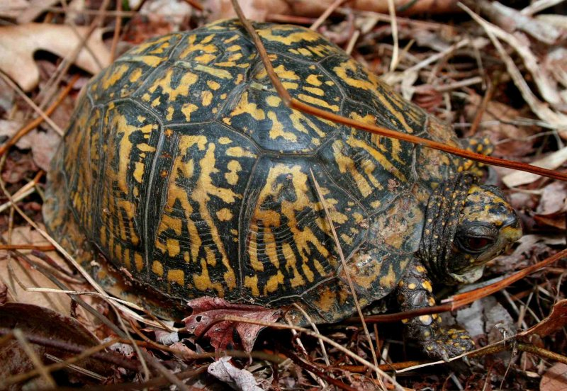 Woodland Terrapin Moving in May tb0509hbr.jpg