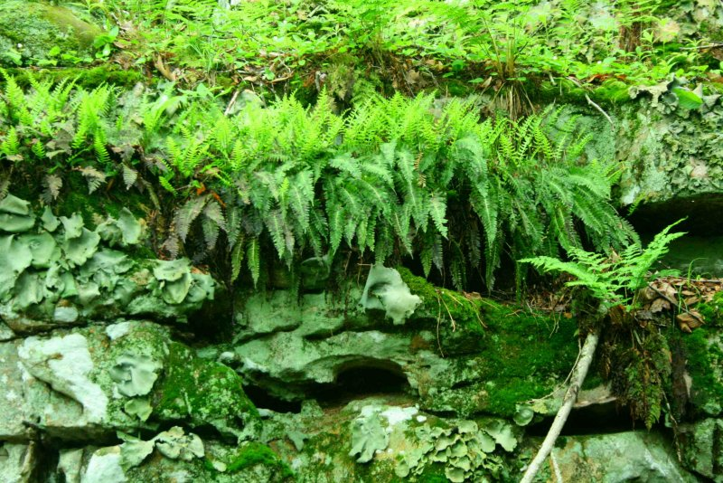 Appalachian Fern Rock Tripe and Moss Community tb0610hex.jpg