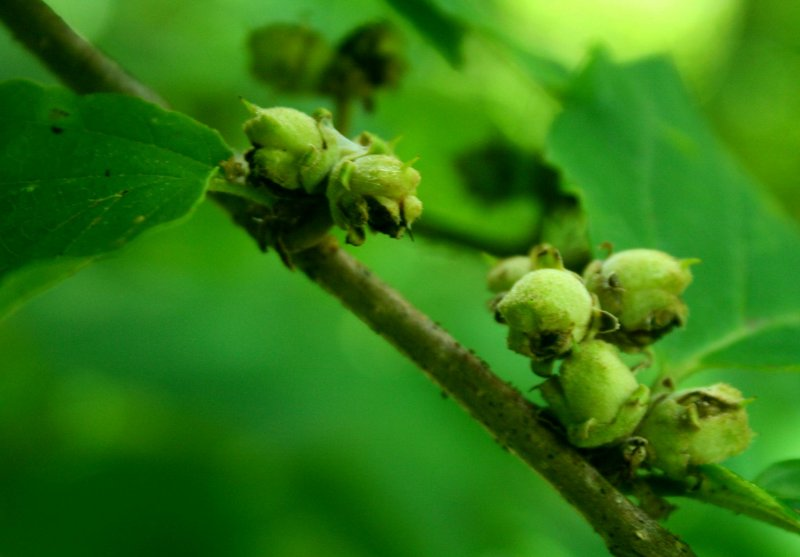 Newly Formed Hazel Nuts in Late Spring tb0910itr.jpg