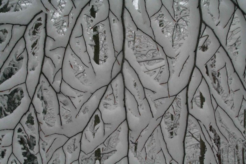 Snow Covered Limbs in Mature Woods tb1109aar.jpg